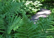 Foto macro com fundo decorativo do trajeto do parque nas grandes folhas das samambaias da máscara da cor verde Fotos de Stock