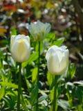 Foto macro com fundo e textura decorativos de flores bonitas com as pétalas brancas na grama verde Imagem de Stock