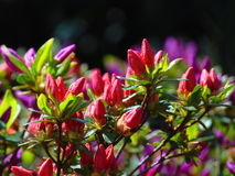 Foto macro com matiz roxa decorativa bonita das flores e dos botões nos ramos do arbusto do rododendro Foto de Stock
