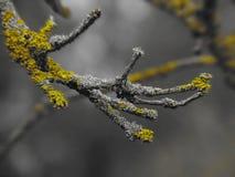 Foto macro com ramos de árvore decorativos do outono da textura do fundo com musgo amarelo Imagens de Stock