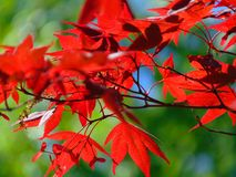 A foto macro com a textura brilhante decorativa do fundo do vermelho cinzelada sae em um ramo de árvore do bordo imagens de stock royalty free