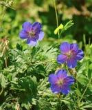 Foto macro com textura decorativa do fundo das pétalas roxas delicadas de plantas herbáceas selvagens de campo de flores do gerân Imagens de Stock Royalty Free