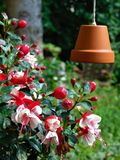A foto macro com textura decorativa do fundo de flores bonitas planta as pétalas fúcsia roxas e a cor cor-de-rosa Imagens de Stock Royalty Free