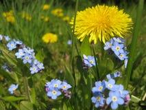 Foto macro com textura decorativa do fundo de tis ou do miosótis delicado bonito do ³ de Myosà das flores Foto de Stock