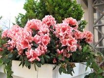 Foto macro com um contexto decorativo de flores bonitas e coloridas de arbustos do rododendro em ajardinar dos parques Foto de Stock
