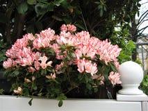 Foto macro com um contexto decorativo de flores bonitas e coloridas de arbustos do rododendro em ajardinar dos parques Fotos de Stock Royalty Free