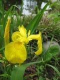 A foto macro com um fundo decorativo da mola bonita floresce íris com as pétalas amarelas brilhantes Imagem de Stock