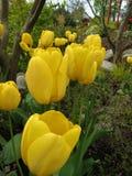 A foto macro com um fundo decorativo da mola bonita floresce a tulipa com as pétalas amarelas brilhantes Fotografia de Stock Royalty Free