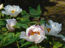 Foto macro com um fundo decorativo da peônia de florescência Bush do verão Fotos de Stock
