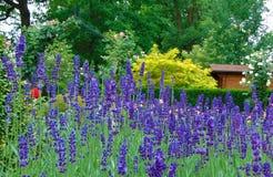Foto macro com um fundo decorativo da textura das flores bonitas da alfazema com as pétalas roxas brilhantes para o projeto da pa Foto de Stock