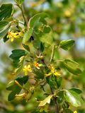 Foto macro com um fundo e uma textura decorativos das flores com as pétalas amarelas brilhantes do corinto selvagem do arbusto Fotografia de Stock