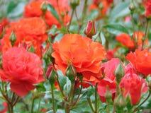 A foto macro com um jardim decorativo do fundo natural floresce Bush Fotos de Stock Royalty Free
