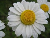 A foto macro com uma textura decorativa do fundo das pétalas e as plantas herbáceas medicinais das rosetas da margarida florescem Foto de Stock Royalty Free