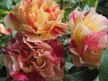 A foto macro com uma textura decorativa do fundo de uma flor bonita Bush classificou matiz amarelas e cor-de-rosa brilhantes das  Imagens de Stock