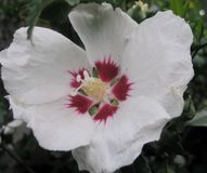 Foto macro com uma textura decorativa do fundo de flores bonitas com os hibiscus sempre-verdes do arbusto das pétalas brancas Fotografia de Stock