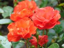 Foto macro com uma textura decorativa do fundo de uma rosa vermelha delicada classificada Bush bonita do matiz da flor Imagem de Stock