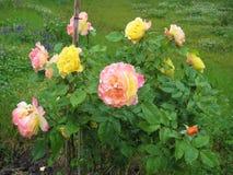 Foto macro com uma textura decorativa do fundo de umas cores amarelas de Bush da flor e cor-de-rosa delicadas bonitas das pétalas Imagens de Stock Royalty Free