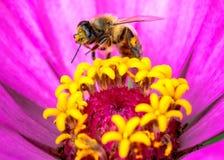 Foto macro da abelha na flor imagem de stock royalty free