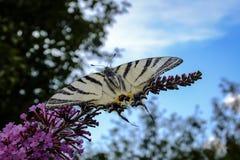 Foto macro da borboleta do podalirius de Iphiclides da cauda da andorinha no arbusto de florescência do davidii de Buddleja fotos de stock royalty free