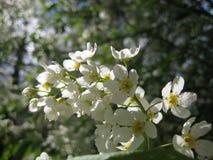 Foto macro da cereja de florescência das árvores da mola em um fundo das folhas do céu azul e do verde Imagens de Stock Royalty Free