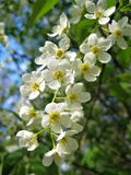 Foto macro da cereja de florescência das árvores da mola em um fundo das folhas do céu azul e do verde Fotografia de Stock