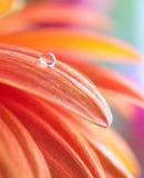 Foto macro da flor com gota da água Fotos de Stock Royalty Free