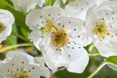 Foto macro da flor de Apple no jardim em abril fotografia de stock