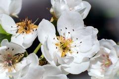 Foto macro da flor de Apple no jardim em abril imagem de stock royalty free