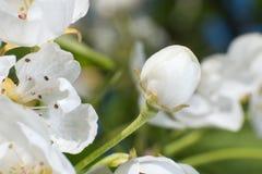 Foto macro da flor de Apple no jardim em abril imagens de stock