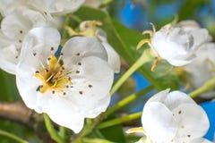 Foto macro da flor de Apple no jardim em abril foto de stock royalty free