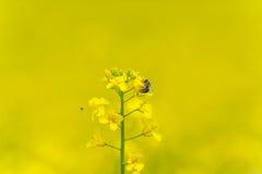 Foto macro da flor e da abelha da colza Mosca no fundo obscuro amarelo imagens de stock