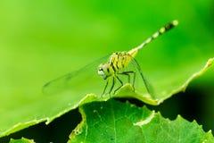 A foto macro da libélula na folha, libélula é inseto Fotografia de Stock Royalty Free