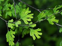 Foto macro da samambaia de Maidenhair ou da planta do Adiantum isolada no fundo foto de stock royalty free