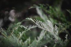 Foto macro das agulhas de um cedro vermelho ocidental, plicata do Thuja imagens de stock