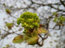 Foto macro das flores de florescência da mola e das folhas verdes de uma árvore Foto de Stock Royalty Free