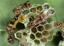 Foto macro das vespas no ninho com os ovos na parte de trás da folha imagem de stock