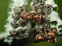 Foto macro das vespas no ninho com ovos imagem de stock royalty free