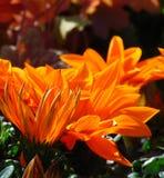 A foto macro de grandes margaridas decorativas das cores vívidas naturais do fundo na paisagem do jardim projeta Fotos de Stock
