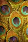 Foto macro de penas coloridas do pavão Fotografia de Stock