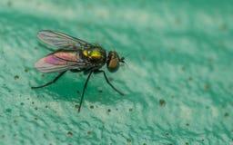 Foto macro de um inseto, uma mosca de Dolichopodidae Foto de Stock Royalty Free
