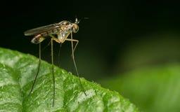 Foto macro de um inseto, uma mosca de Dolichopodidae Fotos de Stock