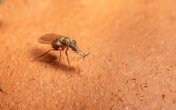 Foto macro de um inseto, uma mosca de Dolichopodidae Fotos de Stock Royalty Free