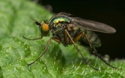 Foto macro de um inseto, uma mosca de Dolichopodidae Imagem de Stock