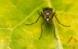 Foto macro de um inseto, uma mosca de Dolichopodidae Imagens de Stock