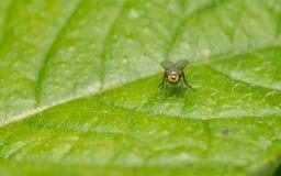 Foto macro de um inseto, uma mosca de Dolichopodidae Fotografia de Stock Royalty Free