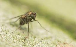 Foto macro de um inseto, uma mosca de Dolichopodidae Imagens de Stock Royalty Free