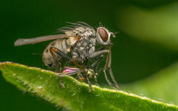 Foto macro de um inseto, uma mosca de Dolichopodidae matada por uma mosca maior Imagens de Stock