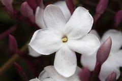 Foto macro de um jasmim bonito imagens de stock