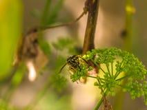 Foto macro de uma alimentação da vespa Fotos de Stock Royalty Free