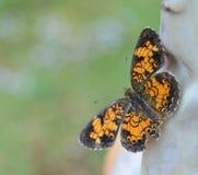 Foto macro de uma borboleta crescente da pérola alaranjada e preta foto de stock